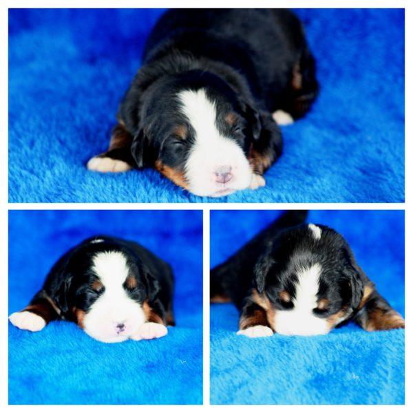 Puppy 1.-COLLAGE