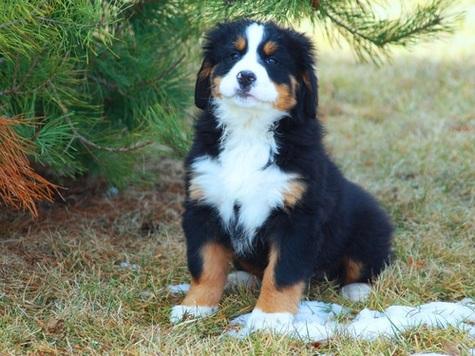 Kelsay Kennel Bernese Mountain Dog Puppies